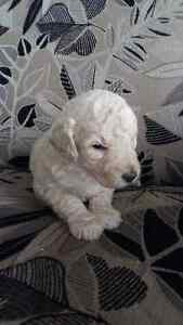 Goldendoodle Puppies -  F1B -  5 Males