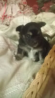 short/long haired chihuahua for sale