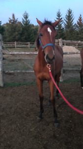 TB filly yearling for sale