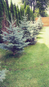 *****Blue Spruce for Sale******