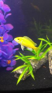 Yellow Lab cichlid