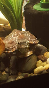 Reeves Turtle with Complete Set up