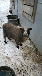 Baby doll ram sheep