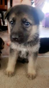 pure bred German Shepard pups