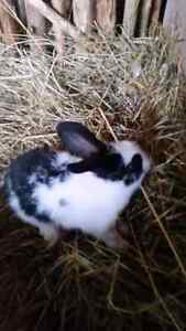 Baby bunnys/rabits for sale