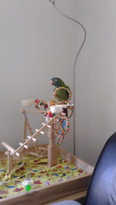 Blue Crowned Conure !