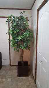 7ft silk tree Edmonton Edmonton Area image 1