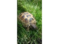 Beautiful loving 8 year old male horsefield tortoise for sale.
