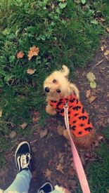 Two 8 months old jack Russel/Yorkshire terrier (need rehoming THIS WEEK)