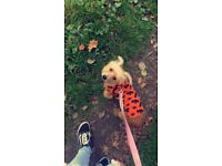 Two 8 months old jack Russel/Yorkshire terrier