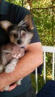Chinese Crested Hairy Hairless male pup