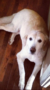 Lost Golden Retriever named Ella