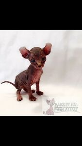 ***Beautiful Sphynx, Elf's, and Bambino Babies***ONLY 2 LEFT