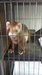 Male Ferret looking for a new home London Ontario image 1