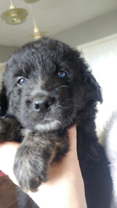 Great Pyrenees / Newfoundland Puppy - 1 FEMALE LEFT
