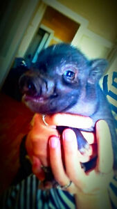 PET MINI PIGS - Only 3 Left London Ontario image 3