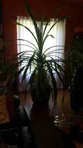 Indoor topical plant