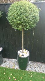 Buxus trees