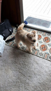 Cute Lakeland Terrier -  Free to good home