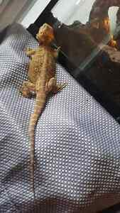 Leatherback bearded dragon Kitchener / Waterloo Kitchener Area image 1