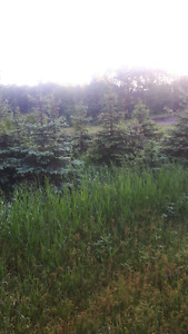 Blue spruce trees for sell