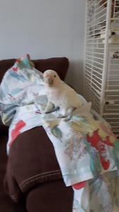 Female Goffin Cockatoo