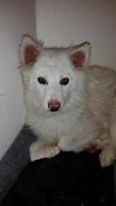 "Young Female Dog - American Eskimo Dog: ""Gertie"""