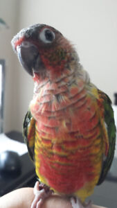 ***Super Friendly High Red Yellow Sided Conure***
