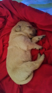 GOLDEN PYRENEES PUPPIES FOR SALE