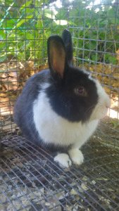 Lapin male adulte