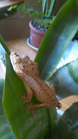 Two Female Crested Geckos(with complete habitat)