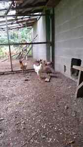 7 lucky roosters