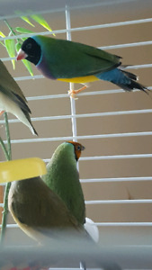 Juvenille Gouldian Finches