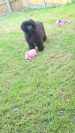 Black toy poodle girl