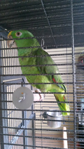 Double yellow amazon including cage