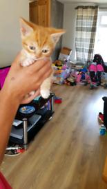 Ginger and white female kittens
