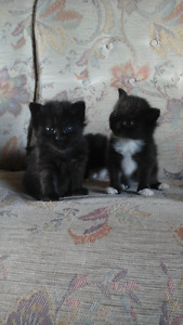 Adorable Fluffy Kittens for Sale