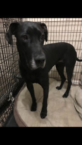 Great Dane For Rehoming