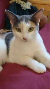 """""""Angel""""- sweet loving dilute tortie available for adoption"""