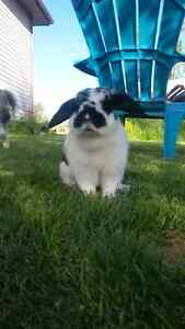 dutch black and white rabbit- comes with cage and all iteams.