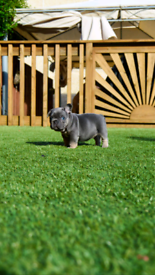 Quality French bulldogs puppies