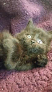 One left! MAINE COON/TABBY FEMALE!