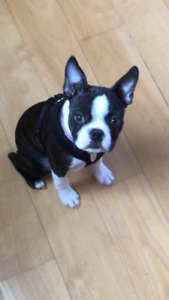 Boston Terrier Puppies ~ ONLY 2 Left