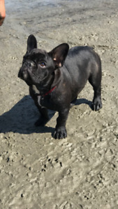 Male French bulldog, 5 months old.