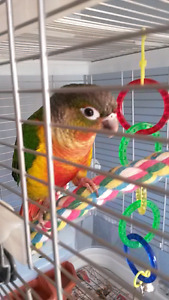 Gorgeous Yellow Sided Conure