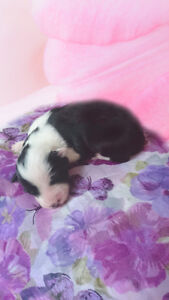 PUREBRED CHOCOLATE BORDER COLLIE - MALE AND FEMALE AVAILABLE