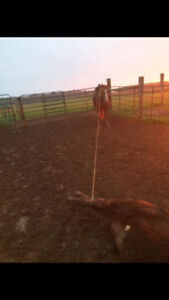14 year old barrel/roping mare