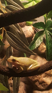 4Green tree frogs ..2 Cuban tree frog  150 with tank