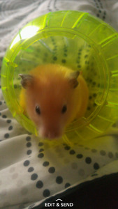 Hamster with accessories