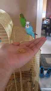 2 budgies couple with cage - hand tamed